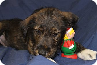 Terrier (Unknown Type, Small)/Wirehaired Fox Terrier Mix Puppy for adoption in Waldorf, Maryland - Pickles