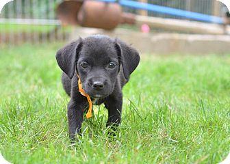 Labrador Retriever/Beagle Mix Puppy for adoption in Danbury, Connecticut - Charlie