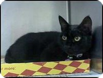 Domestic Shorthair Cat for adoption in East Brunswick, New Jersey - Mabel