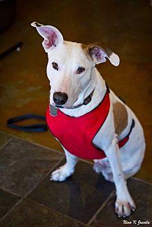 Hound (Unknown Type)/Great Dane Mix Dog for adoption in Orange, California - Beaumont