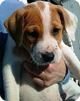 Labrador Retriever Mix Puppy for adoption in Kalamazoo, Michigan - Sherlock - Jen