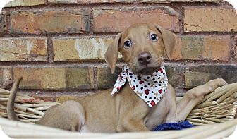 Retriever (Unknown Type) Mix Puppy for adoption in Benbrook, Texas - Cuba