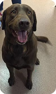 Labrador Retriever Dog for adoption in Phoenix, Arizona - Rocko