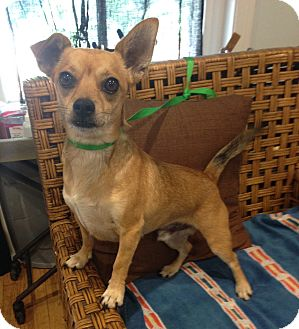Chihuahua Mix Dog for adoption in Santa Ana, California - Rascal