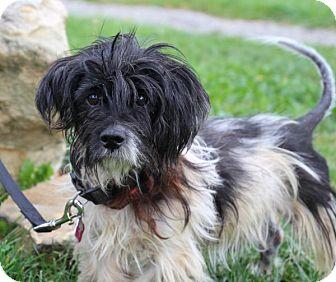 Shih Tzu Mix Dog for adoption in Elyria, Ohio - Grady