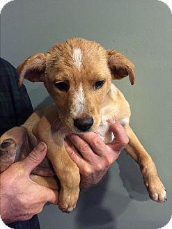 Labrador Retriever/Collie Mix Puppy for adoption in Newtown, Connecticut - Lab Mix Puppy Prancer