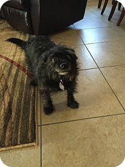 Terrier (Unknown Type, Small) Mix Dog for adoption in Mesa, Arizona - DALLAS 5 YR TERRIER MIX
