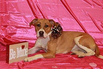 Boxer/Beagle Mix Dog for adoption in Blacklick, Ohio - Fiona