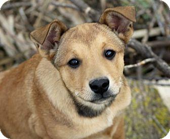 German Shepherd Dog Mix Puppy for adoption in Liberty Center, Ohio - Maylah