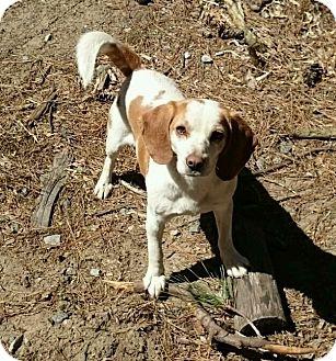 Beagle Mix Dog for adoption in Richmond, Virginia - Thorn