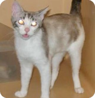 Siamese Cat for adoption in Brooklyn, New York - Pastel