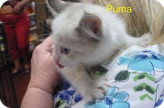 Domestic Mediumhair Kitten for adoption in Tehachapi, California - Puma