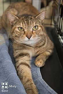 Domestic Shorthair Cat for adoption in Merrifield, Virginia - Misty