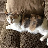 Calico Cat for adoption in Bedford, Virginia - Moosie