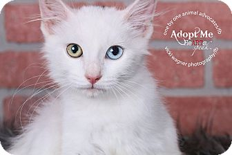 Domestic Mediumhair Kitten for adoption in Huntington, West Virginia - Snowball