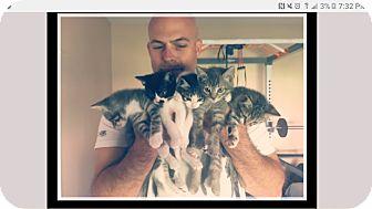 Domestic Mediumhair Kitten for adoption in Mesa, Arizona - Schnauzer