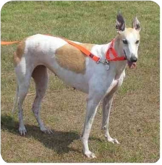 Greyhound Dog for adoption in Tampa, Florida - Alyson