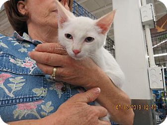 Siamese Kitten for adoption in Vacaville, California - Cooper