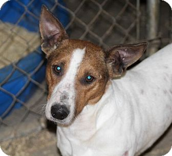 Jack Russell Terrier Mix Dog for adoption in Liberty Center, Ohio - Lathan