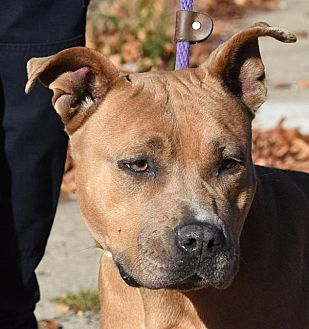 American Pit Bull Terrier Mix Dog for adoption in New Haven, Connecticut - CALLIE