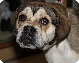 American Bulldog/Beagle Mix Dog for adoption in Marietta, Ohio - Lola (Spayed)