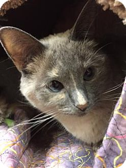 Siamese Cat for adoption in Chicago Heights, Illinois - Sandy Mae