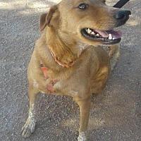Adopt A Pet :: Moonshine - Phoenix, AZ