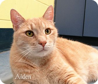 Domestic Shorthair Cat for adoption in Jackson, New Jersey - Alden