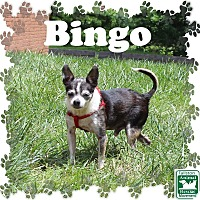 Adopt A Pet :: Bingo - Fallston, MD