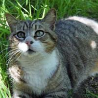 Adopt A Pet :: Kitty Kitty - Ravenel, SC