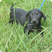 Dachshund Mix Puppy for adoption in Anderson, South Carolina - MAX