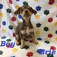 Adopt A Pet :: Brie - sylmar, CA