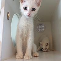 Adopt A Pet :: Marshmallow - Lakewood, CA