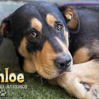 Adopt A Pet :: CHLOE - Van Nuys, CA