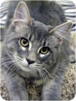 Domestic Mediumhair Kitten for adoption in Macon, Georgia - Louie