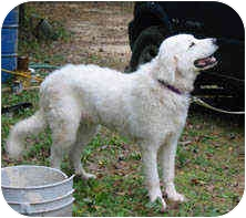Great Pyrenees Dog for adoption in Kyle, Texas - Tesh
