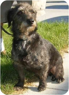 Dachshund/Terrier (Unknown Type, Small) Mix Dog for adoption in Provo, Utah - Oscar