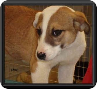Australian Shepherd Mix Dog for adoption in Irvington, Kentucky - Khloe