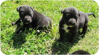 Pit Bull Terrier Mix Puppy for adoption in Salem, Oregon - Flintstone Boys