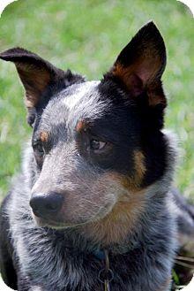 Australian Cattle Dog/Australian Cattle Dog Mix Dog for adoption in Carey, Ohio - MADDOX