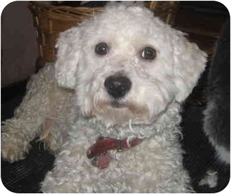 Poodle (Miniature)/Westie, West Highland White Terrier Mix Puppy for adoption in Chicago, Illinois - JACKIE(ADOPTED!)