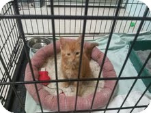 Domestic Shorthair Kitten for adoption in Maryville, Tennessee - Rocko