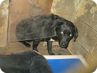 Labrador Retriever Mix Dog for adoption in Henderson, North Carolina - Norris