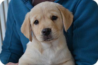 Retriever (Unknown Type) Mix Puppy for adoption in Smithfield, North Carolina - Goose