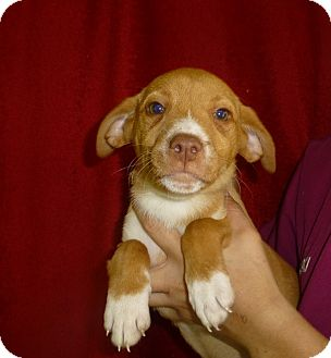 Labrador Retriever/Golden Retriever Mix Puppy for adoption in Oviedo, Florida - Annie