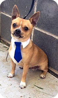 Chihuahua Mix Dog for adoption in Dublin, California - Jax