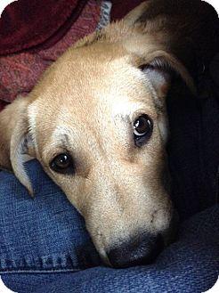 Hound (Unknown Type)/Terrier (Unknown Type, Medium) Mix Puppy for adoption in Monroe, New Jersey - Sunny*Sweet,Smart & Handsome*
