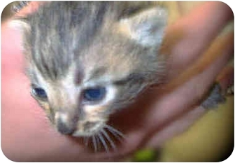 Domestic Shorthair Kitten for adoption in San Clemente, California - GLINDA = Baby Born March 26