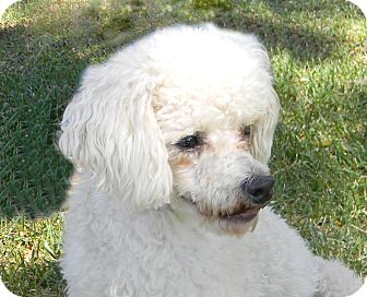 Poodle (Standard) Mix Dog for adoption in Mountain Center, California - Maurice