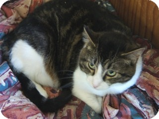Domestic Shorthair Cat for adoption in Libby, Montana - Pippy
